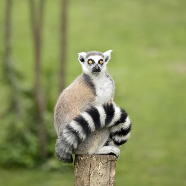"""Lemur sitting on a log"" stock image"