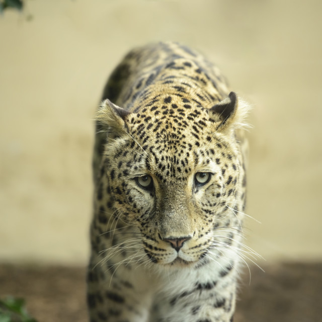 """Lonely Leopard"" stock image"