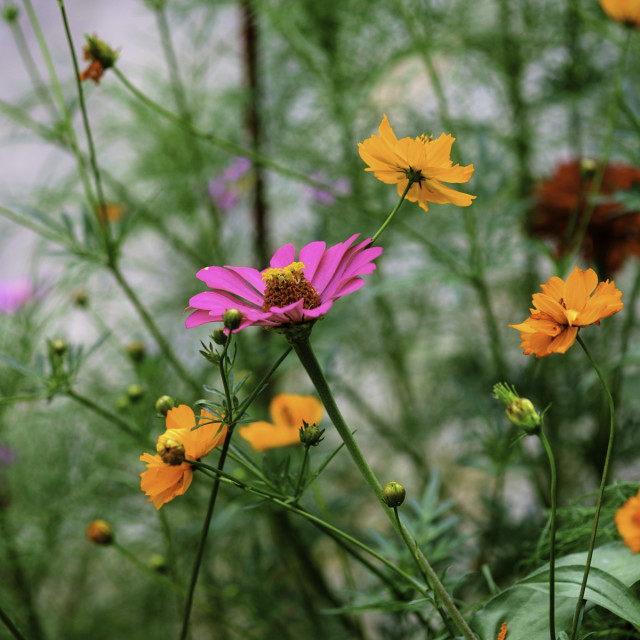 """""Cosmos and Zinnias"""" stock image"