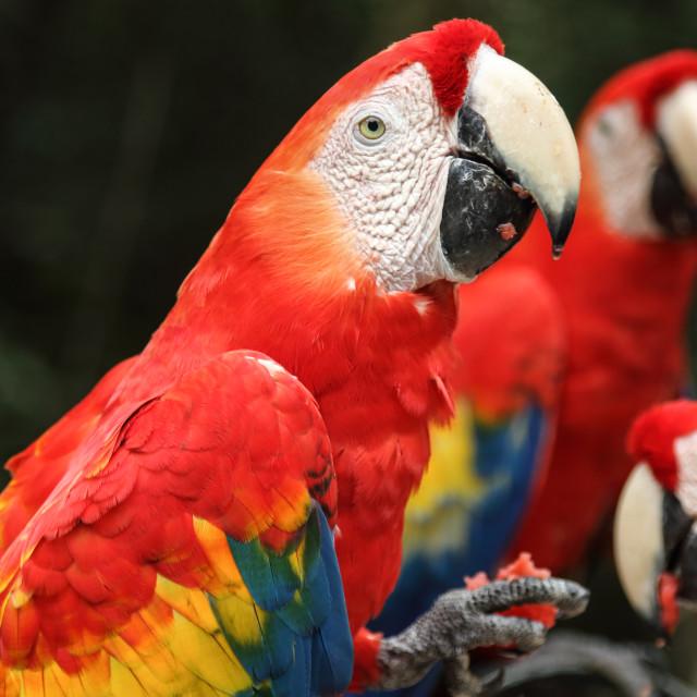 """Scarlet macaws feeding, Copan, Honduras"" stock image"