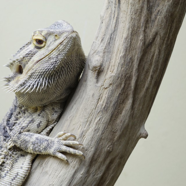 """Central bearded dragon"" stock image"