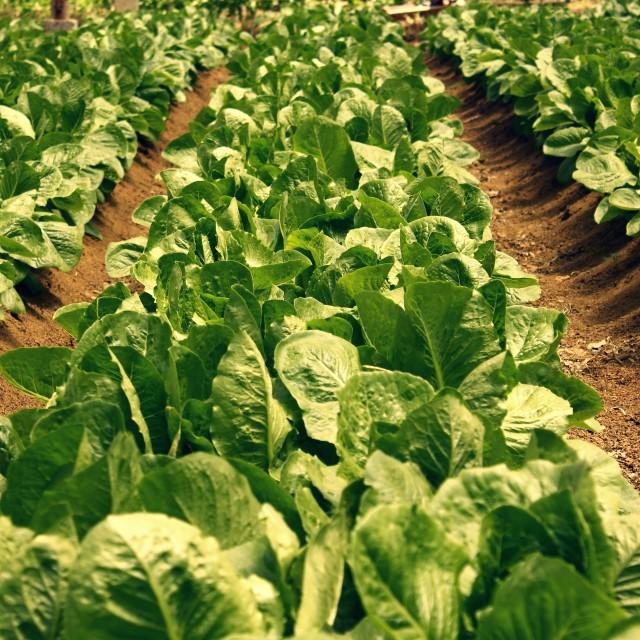 """lettuce plantation"" stock image"