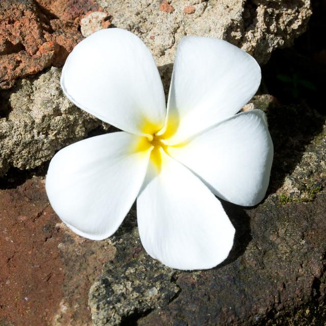 """Temple Tree Flower"" stock image"