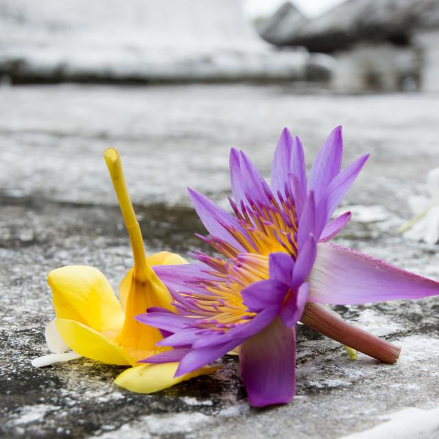 """Star lotus"" stock image"