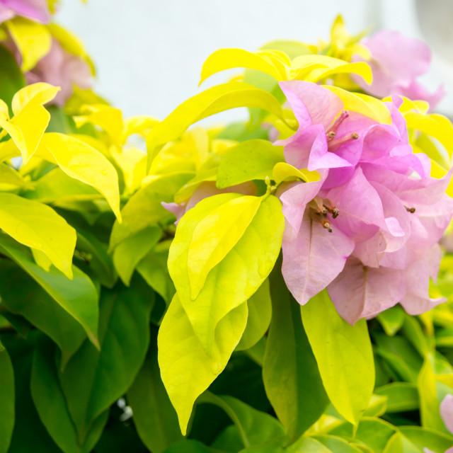 """Pink Bougainvillea flowers"" stock image"