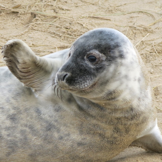 """Seal with a wave"" stock image"
