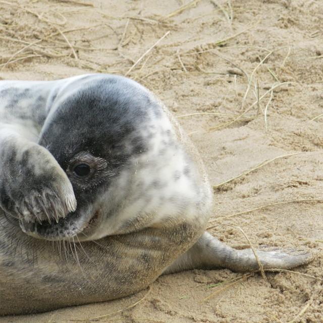 """Shy Grey seal"" stock image"