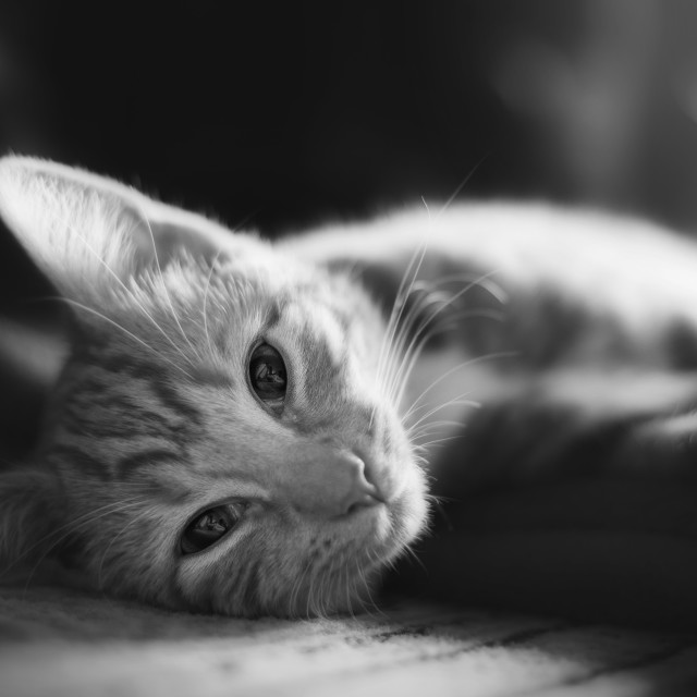 """Kitten resting - black and white"" stock image"