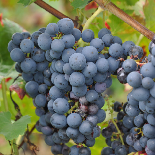 """""""Brunch of grapes"""" stock image"""