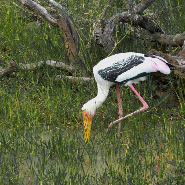"""Sri Lanka painted stork"" stock image"