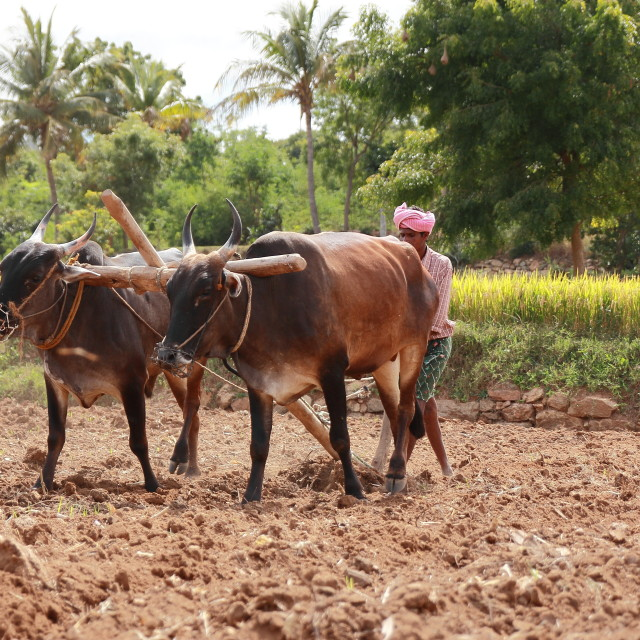 """""""Traditional ploughing"""" stock image"""