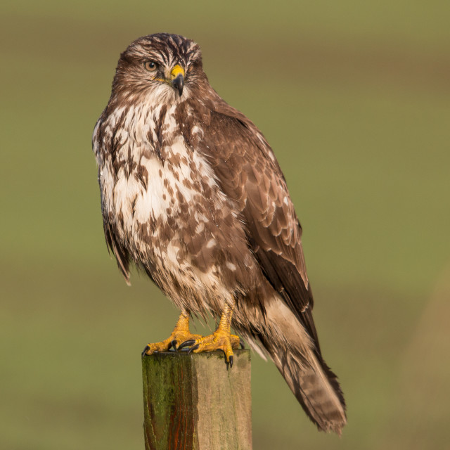 """Common Buzzard buteo buteo"" stock image"