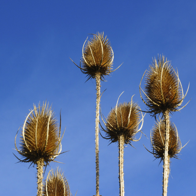 """Teasel heads"" stock image"