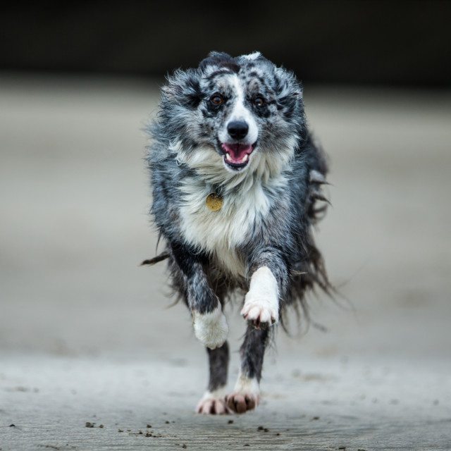 """Running Dog"" stock image"