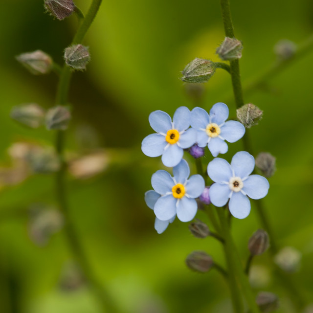 """Forget me nots."" stock image"