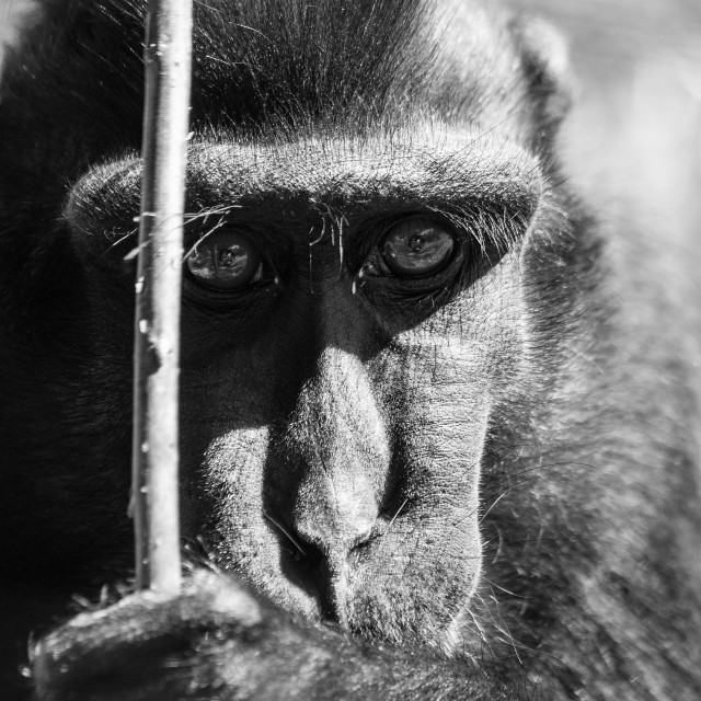 """Black Macaque Monkey"" stock image"