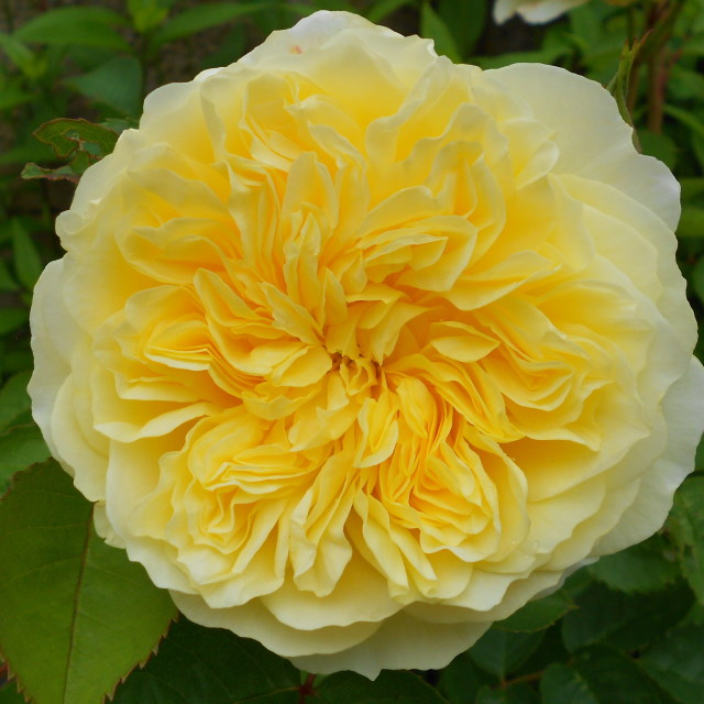 """Yellow rose in full bloom"" stock image"