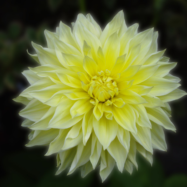 """Large yellow Dahlia"" stock image"