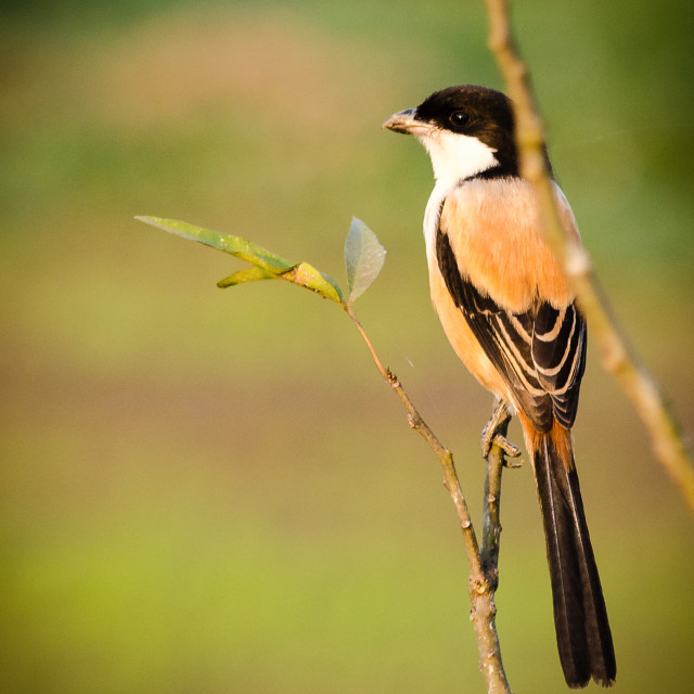 """Long-tailed Shrike"" stock image"