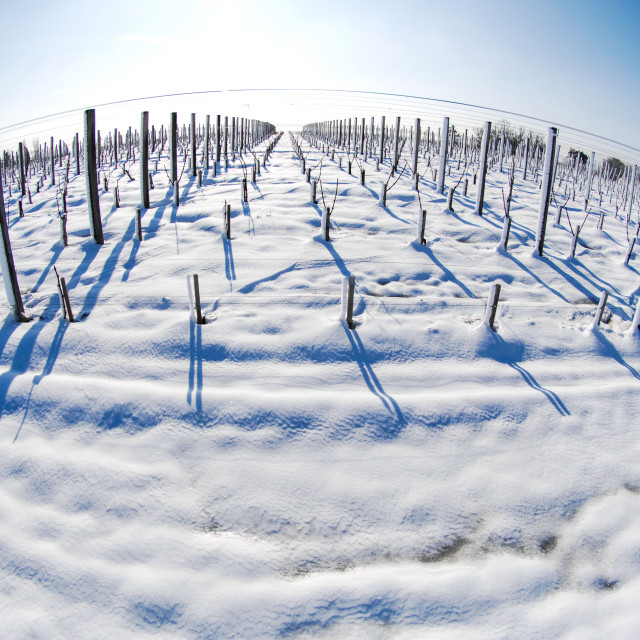 """Snow covered vineyards"" stock image"