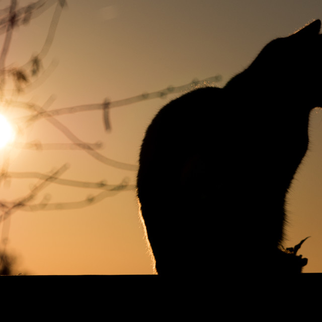 """Black Cat outdoor and Sunset"" stock image"