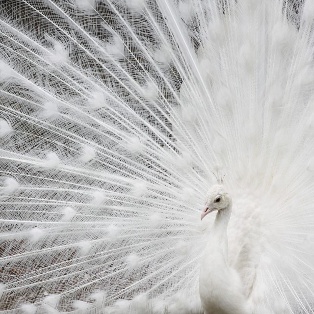 """White peafowl"" stock image"