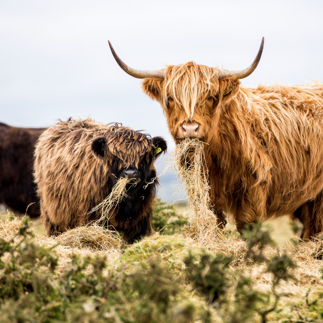 """Cornish Beef"" stock image"