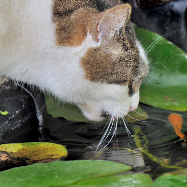 """""""cat looking for fishes"""" stock image"""