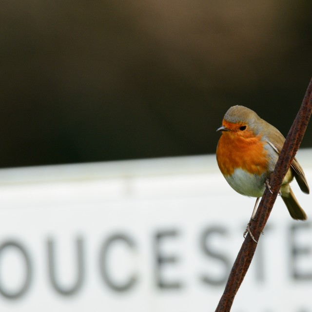 """Local Robin"" stock image"