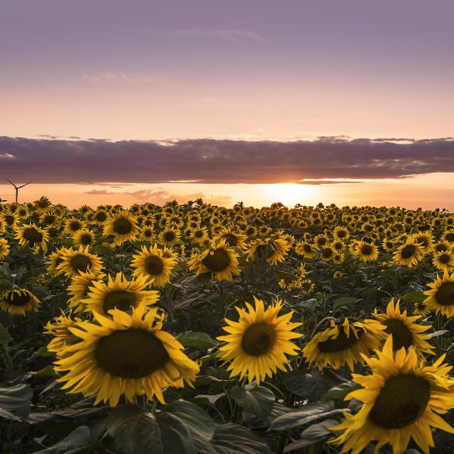 """Sunflower Power"" stock image"