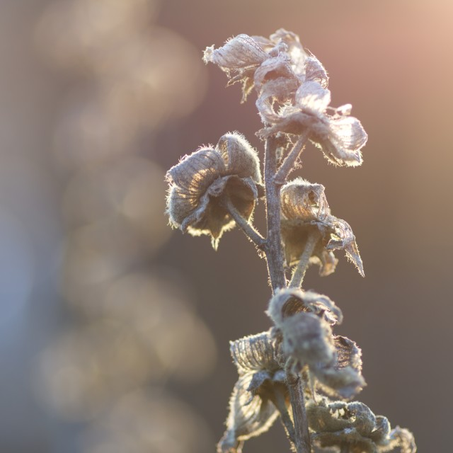 """Winter garden sunlight on frozen flower"" stock image"