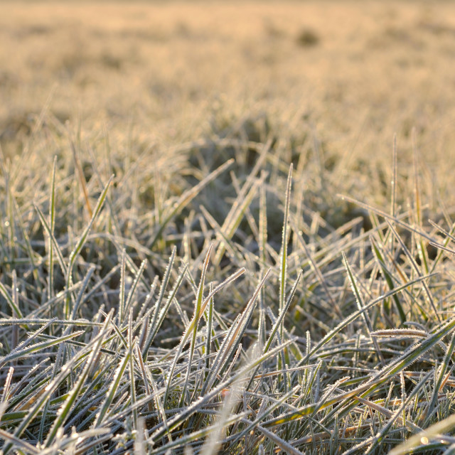 """grass covered with frost"" stock image"