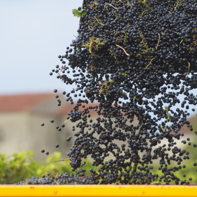 """Mechanical harvesting of grapes in the vineyard"" stock image"