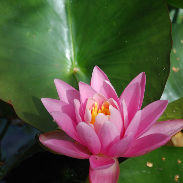 """""""Waterlily flowers in a pond"""" stock image"""