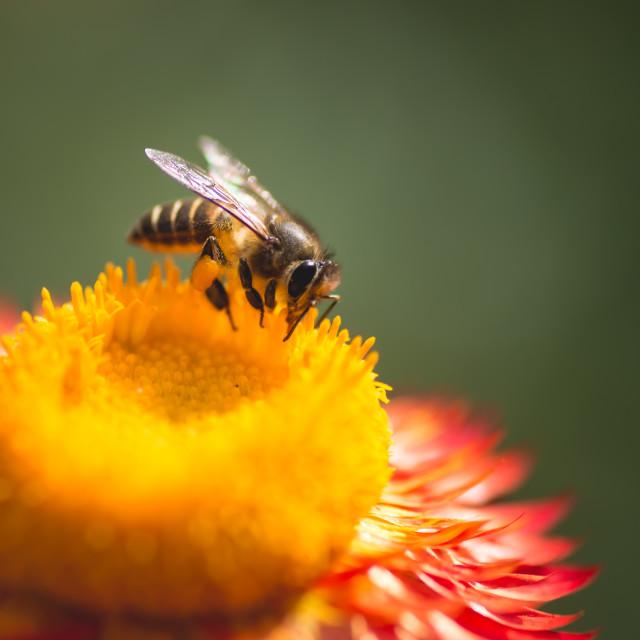 """Bee, Honey, Flower"" stock image"