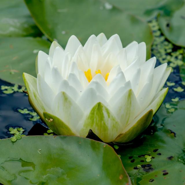 """White Waterlily"" stock image"