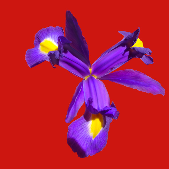 """Purple Iris flower"" stock image"