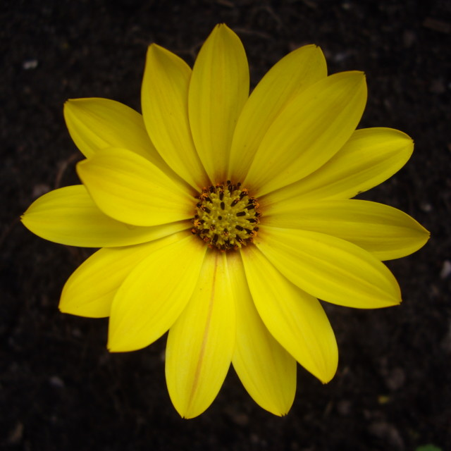 """Yellow Osteospermum"" stock image"