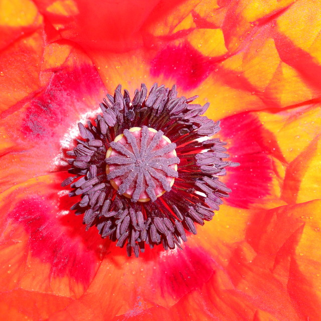 """Close up poppy"" stock image"