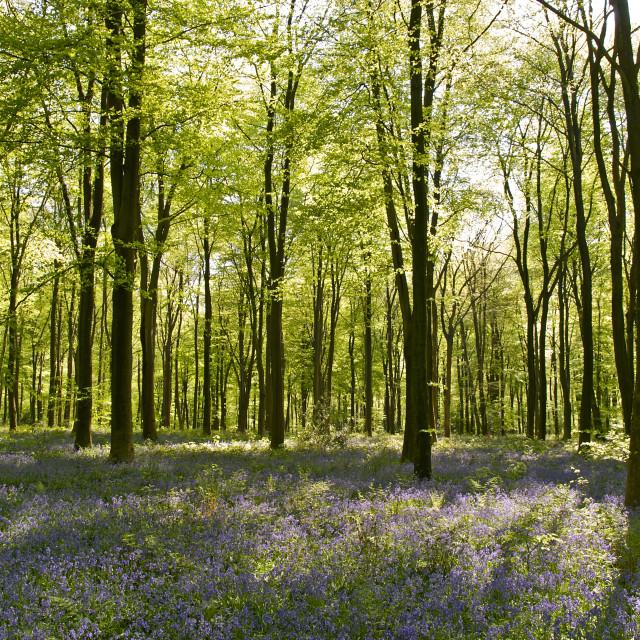 """Micheldever Wood"" stock image"