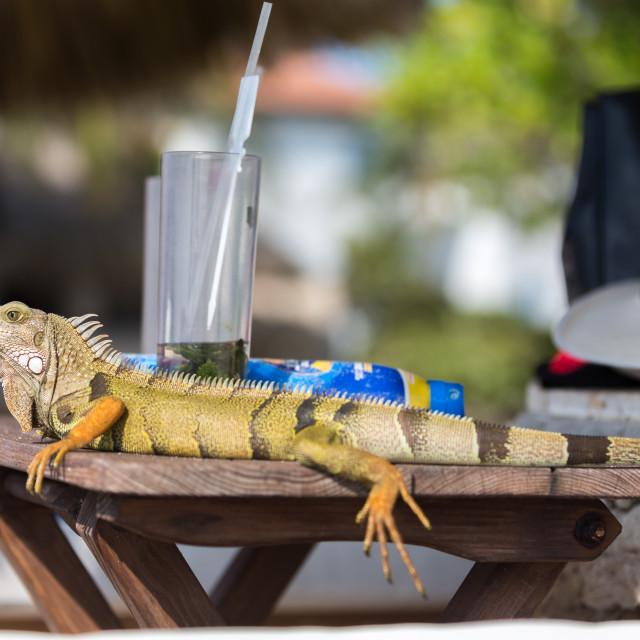 """""""Sunbathing Iguana"""" stock image"""