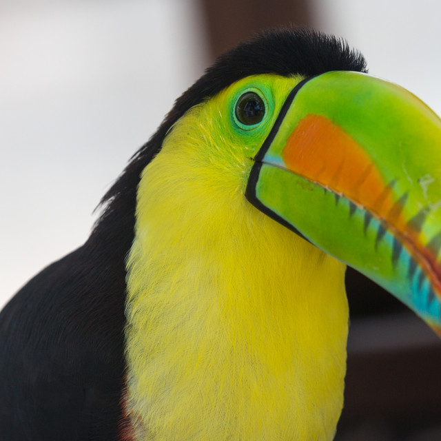 """Toucan Portrait"" stock image"