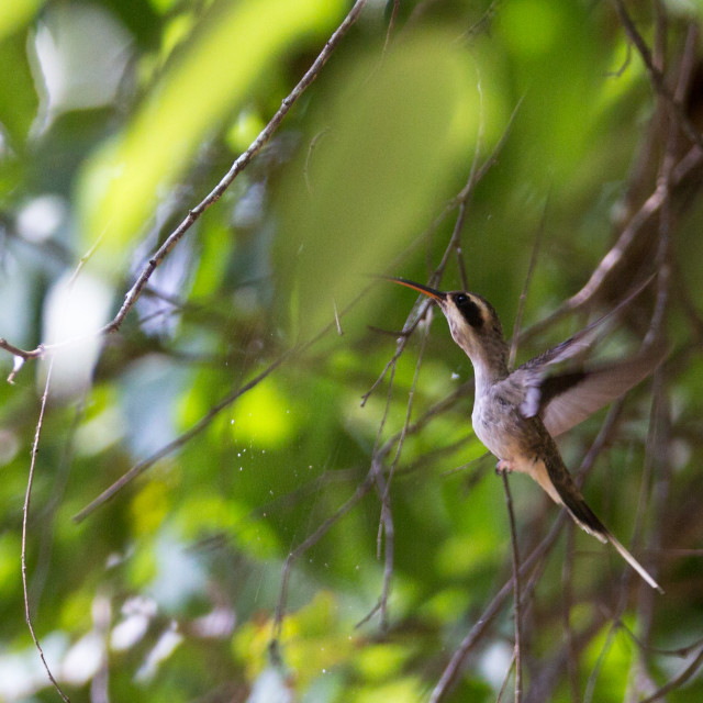 """Colombian Hummingbird"" stock image"