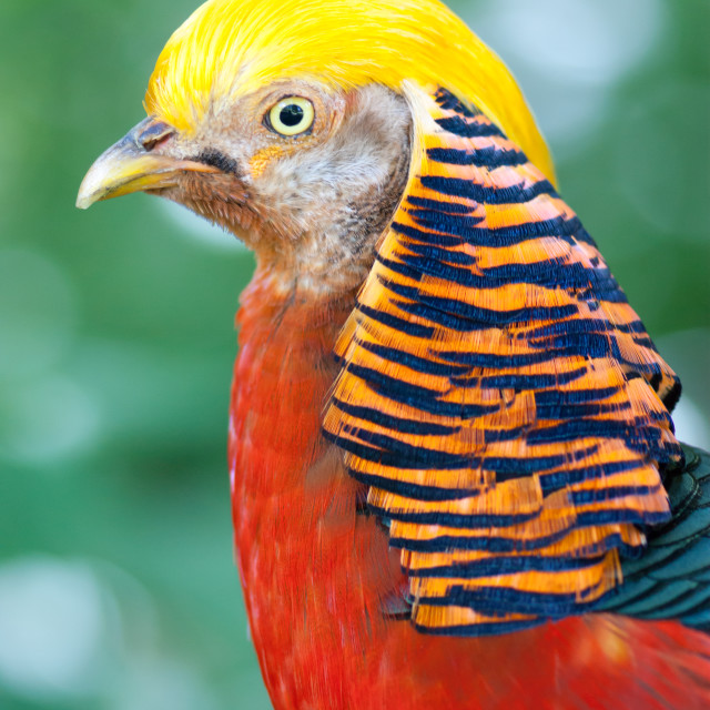 """Golden Pheasant"" stock image"