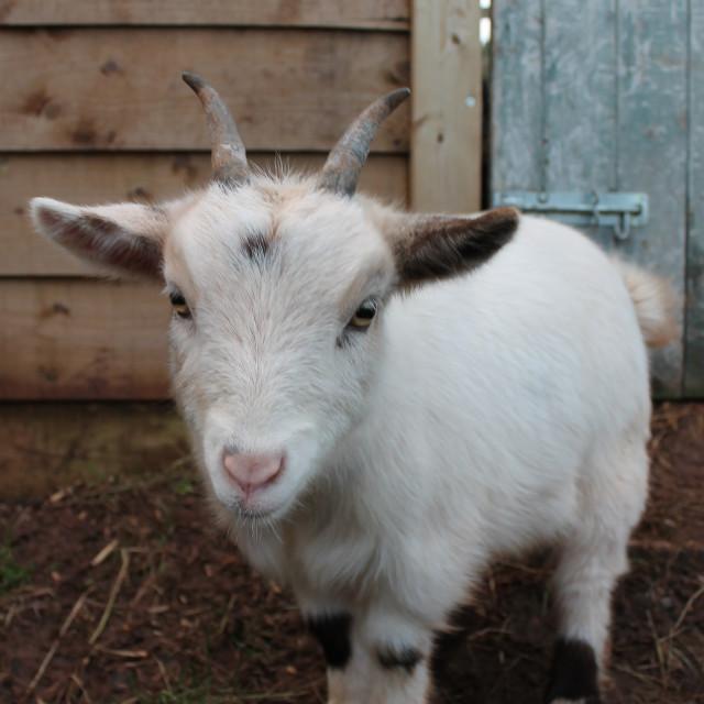 """""""Pygmy Goat"""" stock image"""