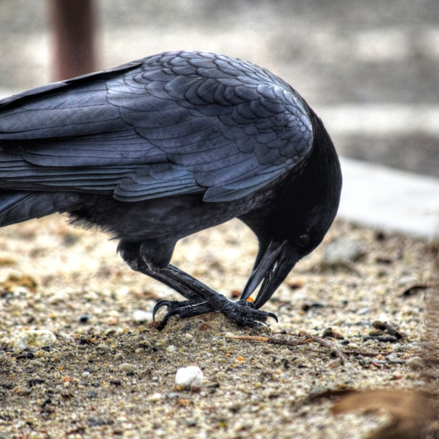 """The Crow"" stock image"
