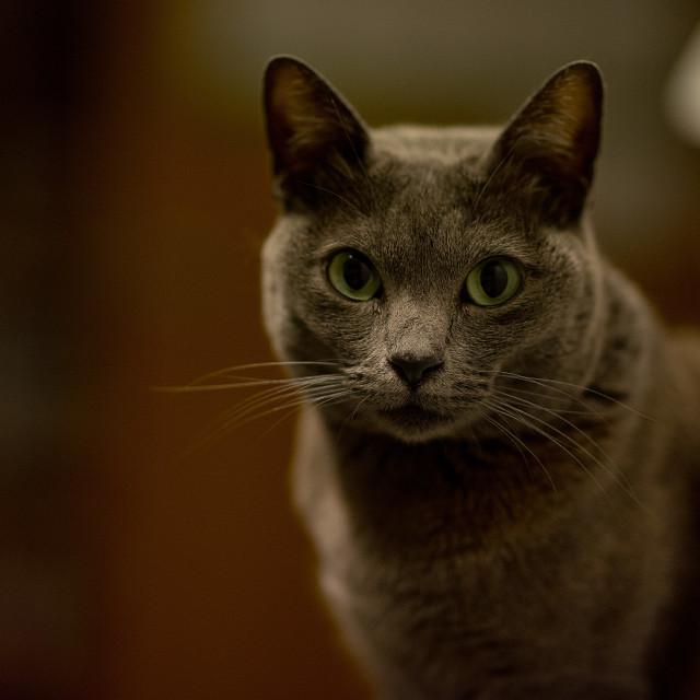 """cat portrait"" stock image"