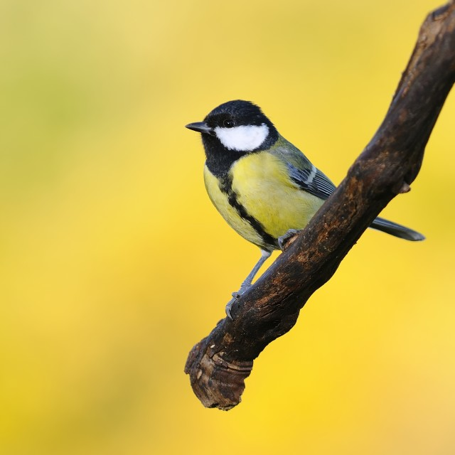 """Great tit on yellow background."" stock image"