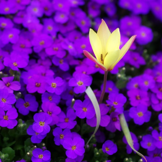 """""""Violet carpet"""" stock image"""