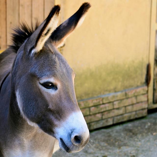 """""""Gray Italian Sardinian Donkey"""" stock image"""